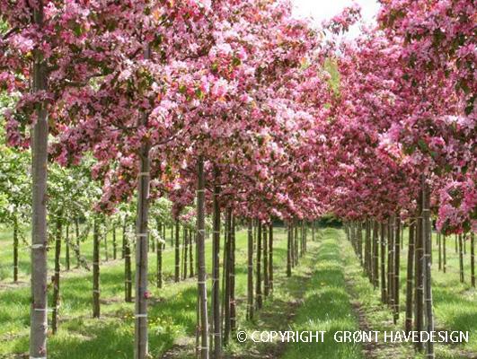 Tips når du køber prydtræer til haven