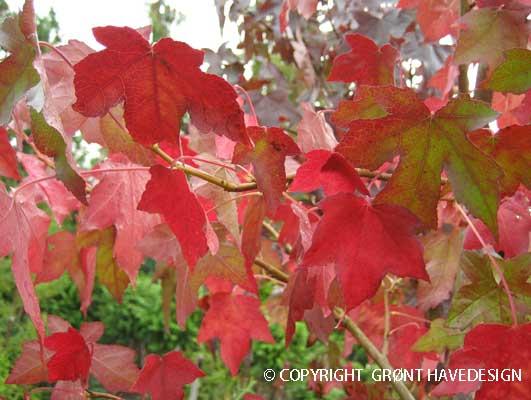 Høstfarver på Ambratræ